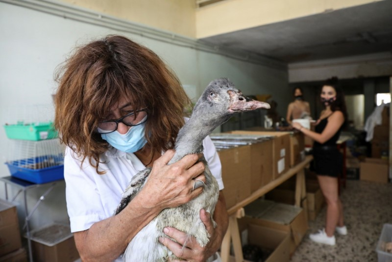 Hellenic Wildlife Care Association ANIMA president Maria Ganoti holds an injured goose following a wildfire north of Athens, at ANIMA's first aid centre, in Athens, Greece, August 8, 2021. Picture taken August 8, 2021. REUTERS/Louiza Vradi