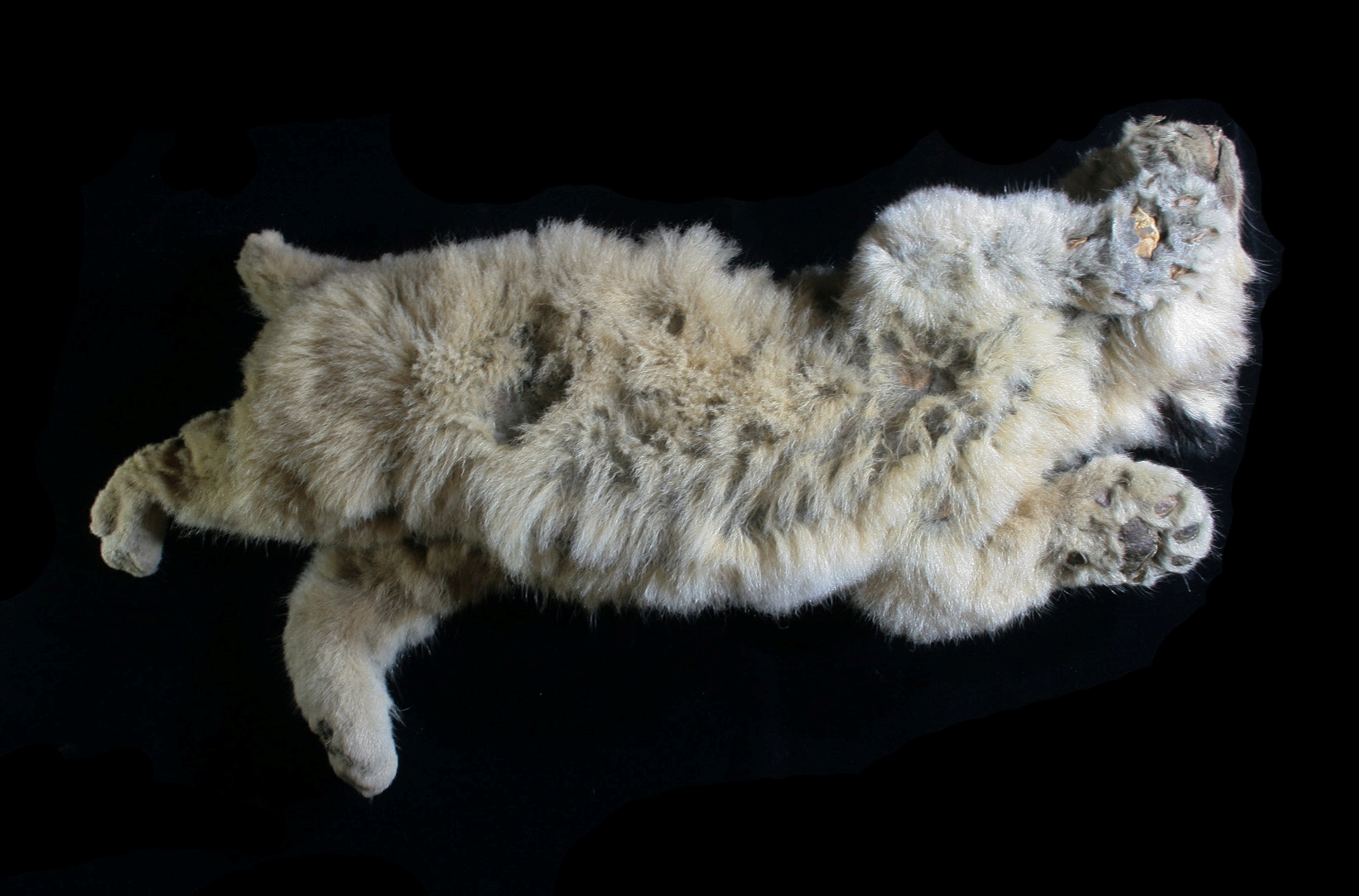 A cave lion cub named Boris, which was found preserved in Siberia's permafrost, is seen in this undated photo taken in 2020, in Yakutsk, Russia.  REUTERS/Innokenty Pavlov