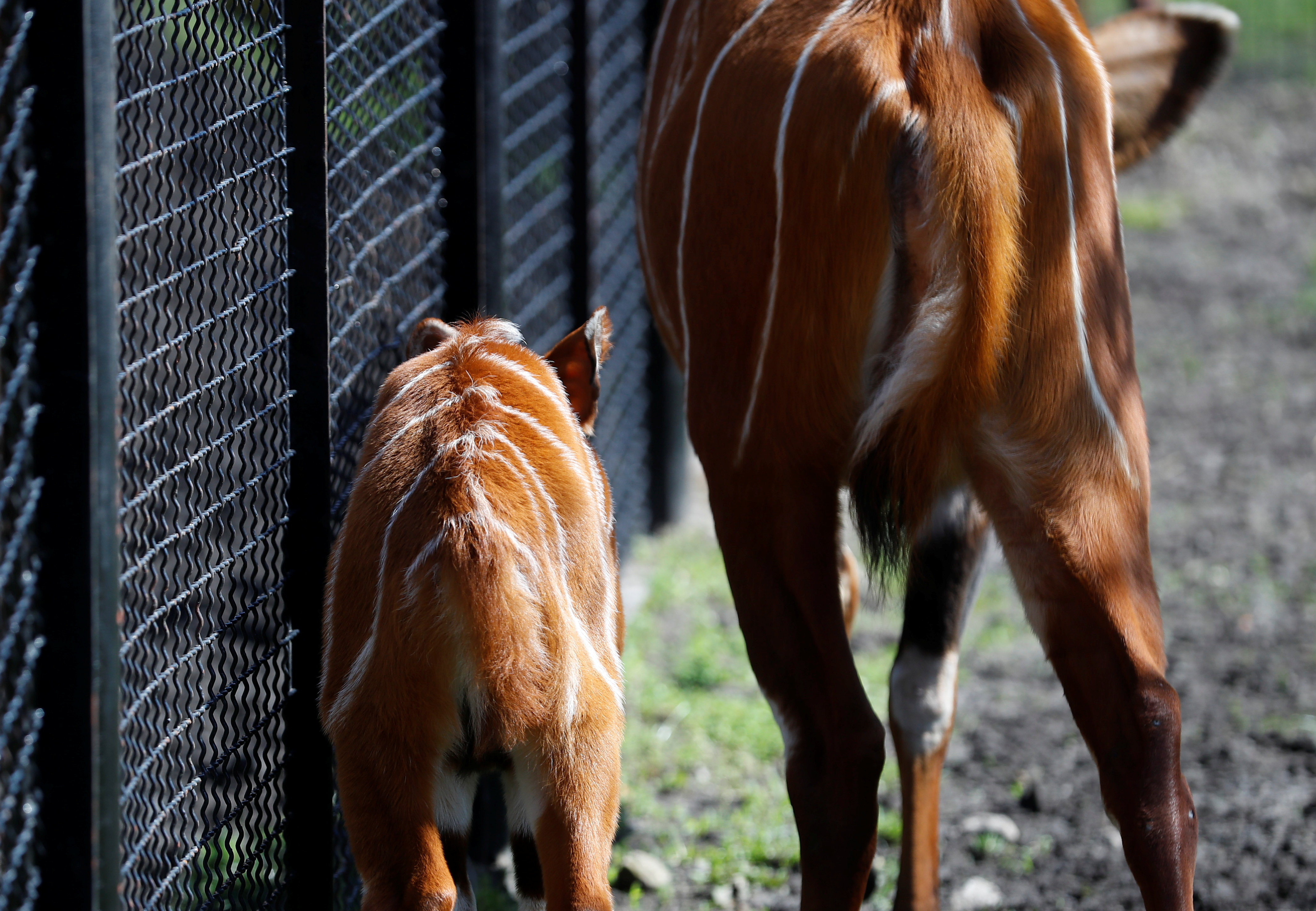 A newborn mountain bongo, the largest of African forest antelopes, is seen in the Warsaw Zoo, Poland May 6, 2021. Picture taken May 6, 2021. REUTERS/Kacper Pempel
