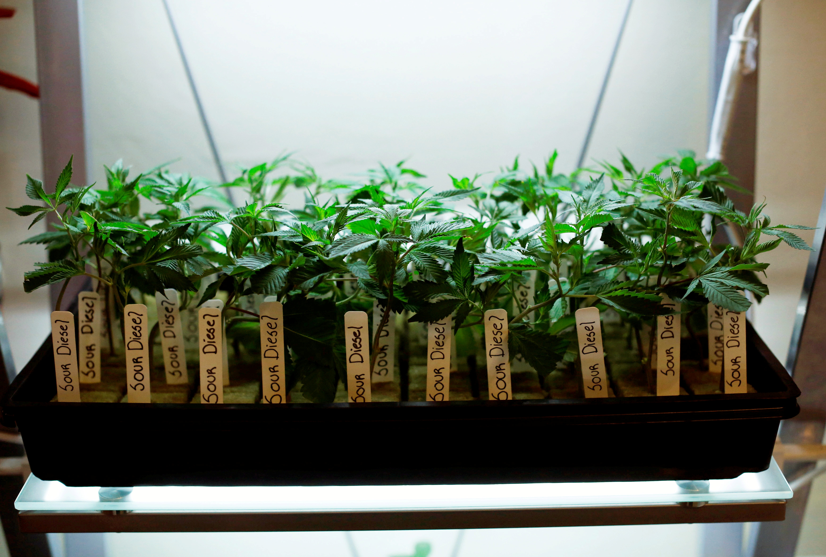Clones of medicinal marijuana plants are pictured at Los Angeles Patients & Caregivers Group dispensary in West Hollywood, California U.S., October 18, 2016. Picture taken October 18, 2016.  REUTERS/Mario Anzuoni/File Photo