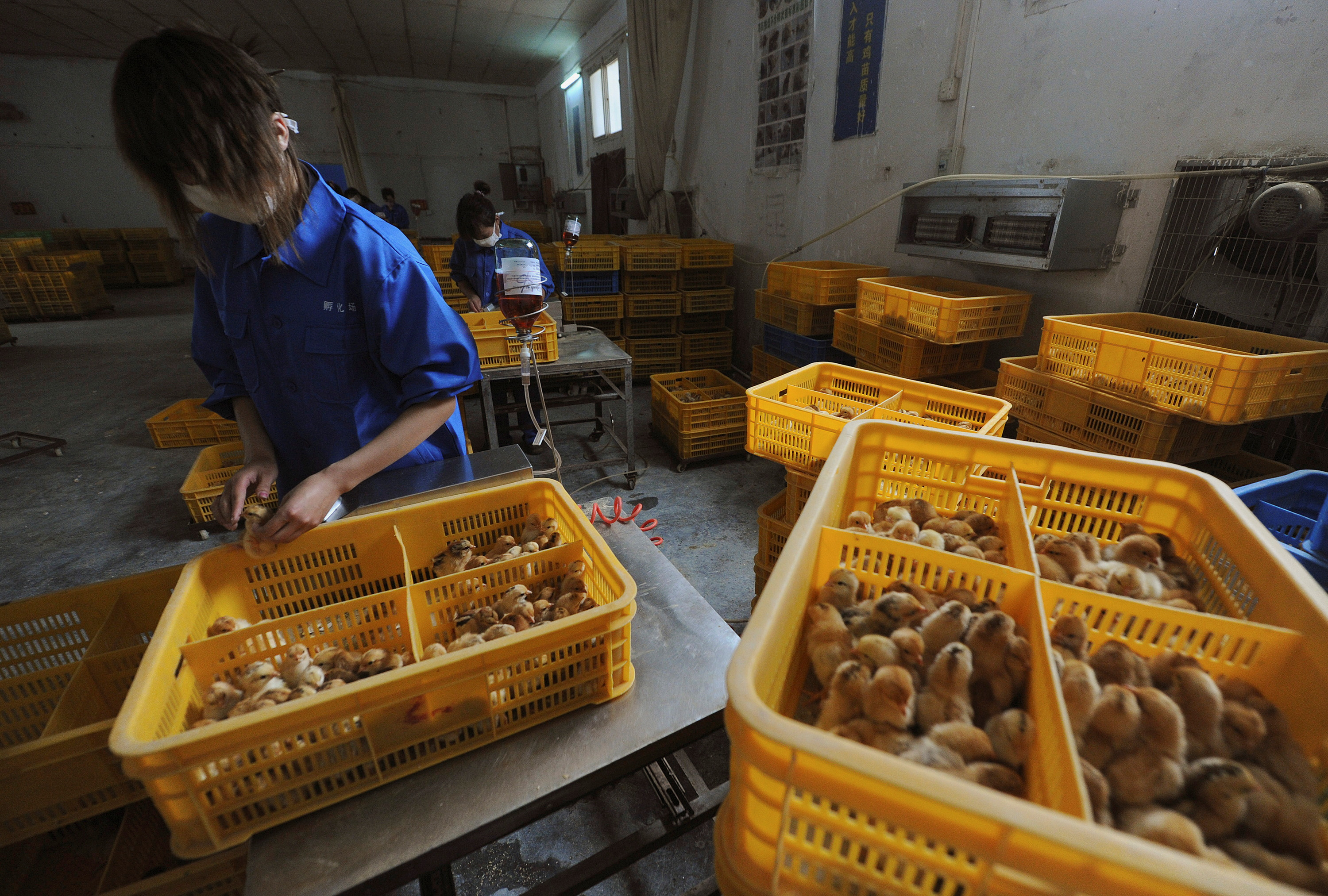 Workers vaccinate chicks with the H9 bird flu vaccine at a farm in Changfeng county, Anhui province, April 14, 2013.  REUTERS/Stringer/File Photo