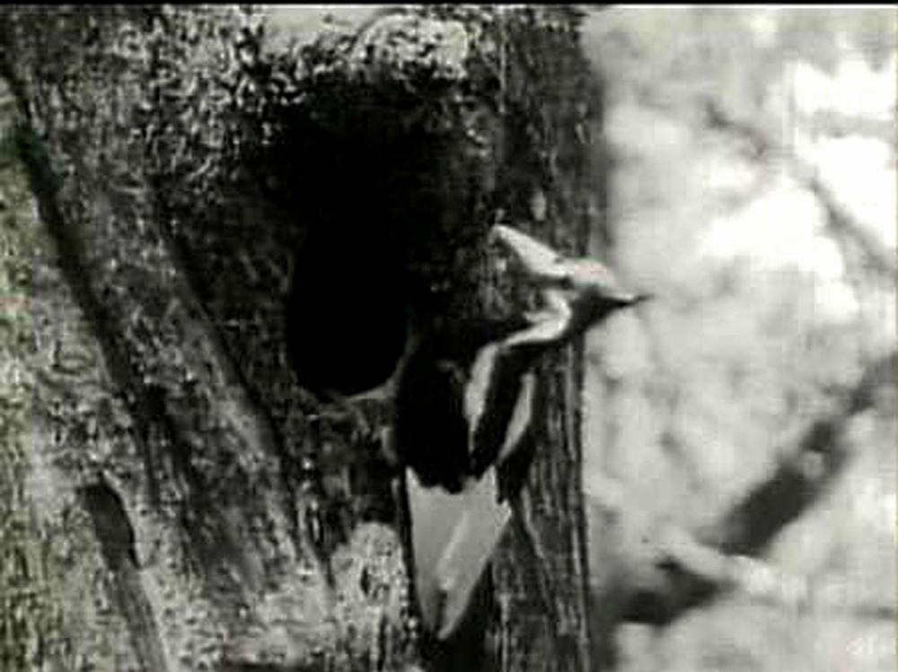 The ivory-billed woodpecker was believed to have been seen in a remote part of Arkansas, ornithologists said on April 28, 2005. Several experts have spotted and heard at least one and possibly more ivory-billed woodpeckers deep in an ancient cypress swamp in eastern Arkansas. One was videotaped last year.  REUTERS/FeedRoom Video for Reuters.com  GMH/File Photo