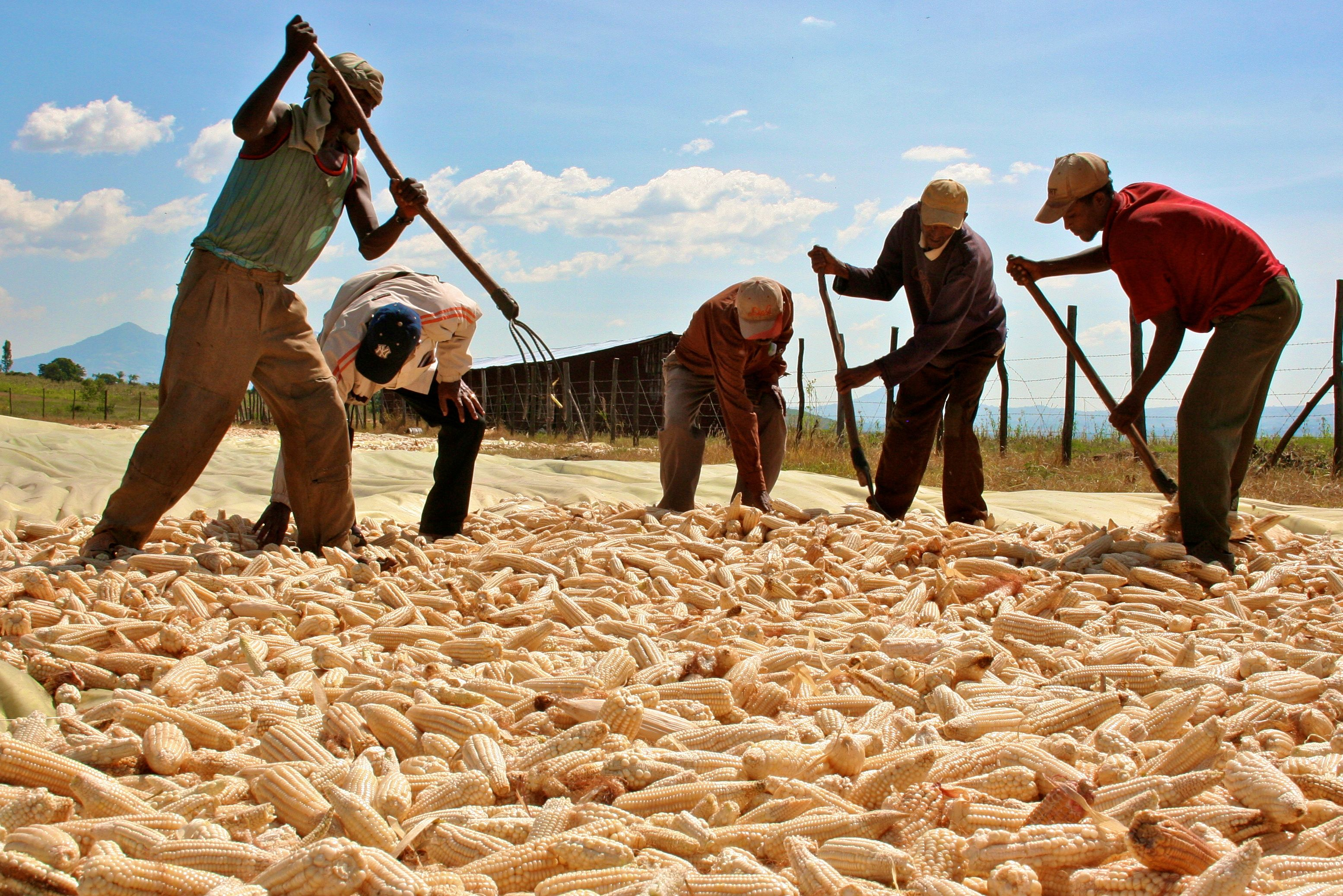 Managers with Karuturi, an Indian company with four commercial farms in Ethiopia, check the corn harvested by workers at Karuturi's farm in Bako, central Ethiopia November 6, 2009.   REUTERS/Barry Malone/File Photo