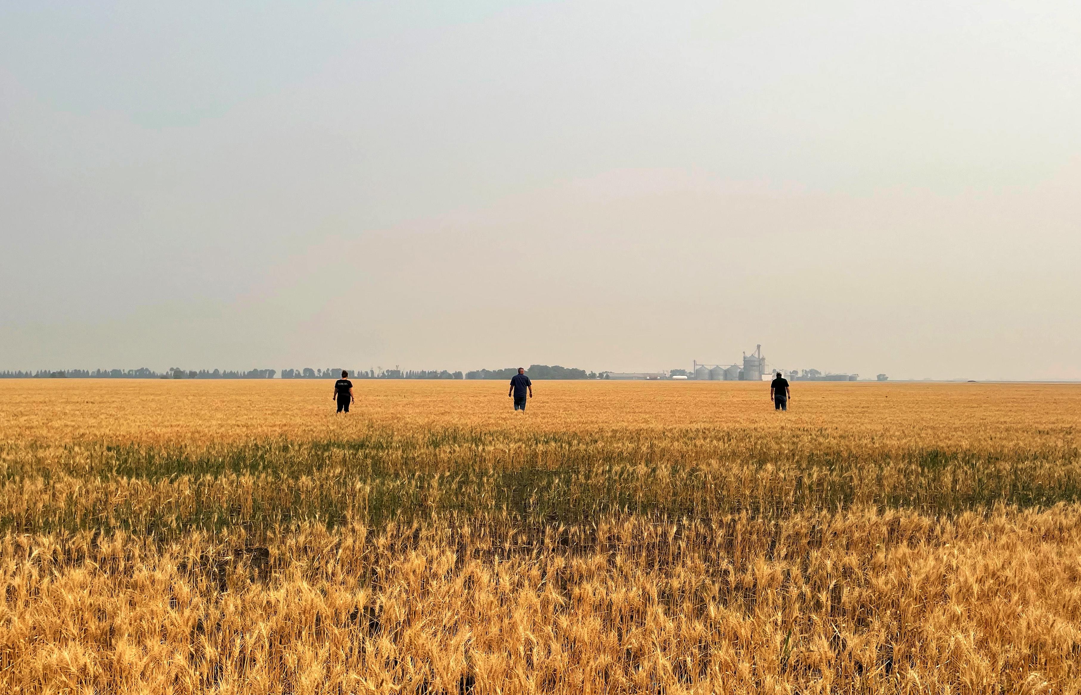 Crop scouts survey drought-stressed spring wheat near Grandin, North Dakota, U.S. July 29, 2021.   REUTERS/Karl Plume