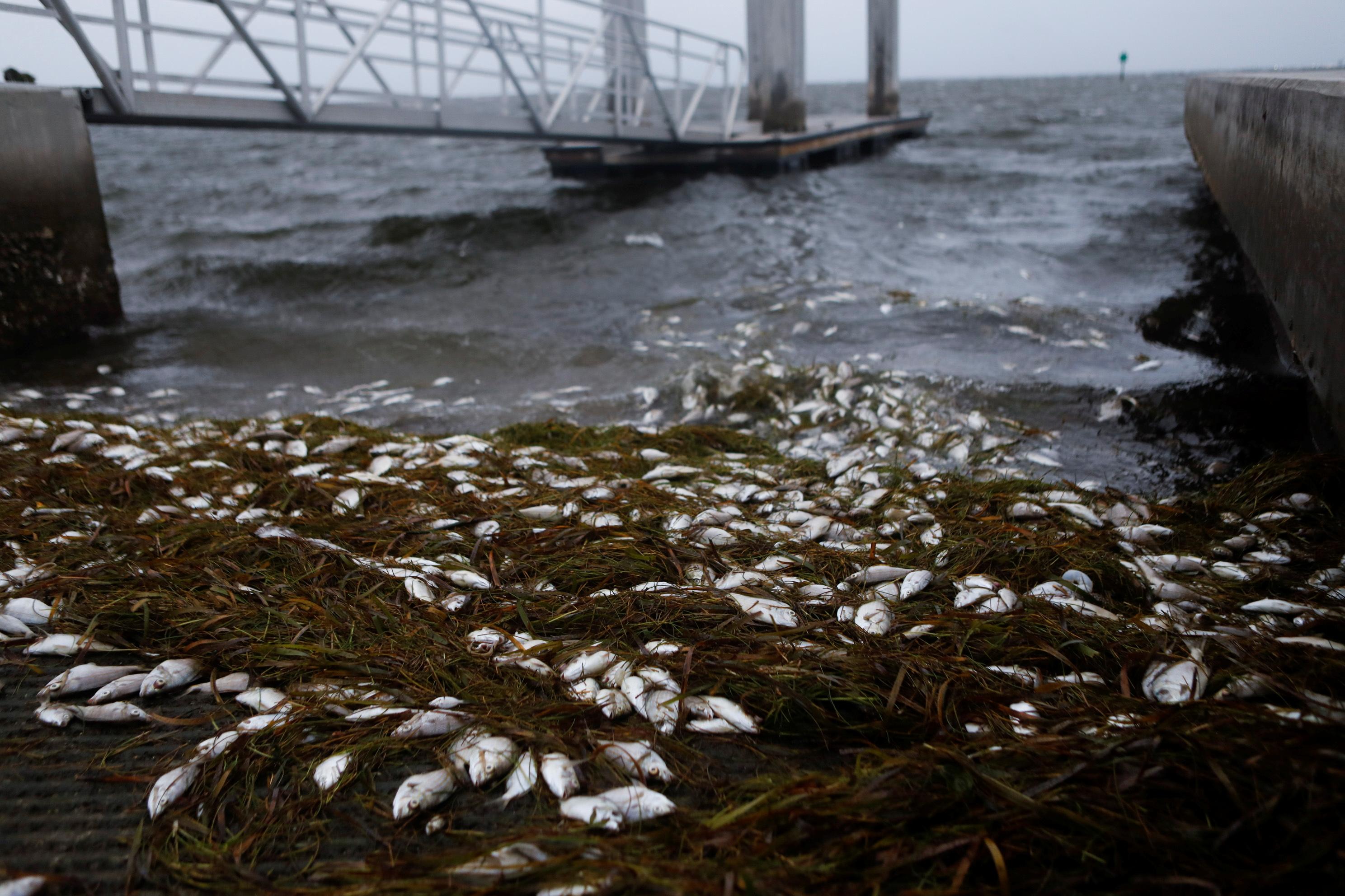 Se ven peces muertos en Bay Vista Park, mientras Elsa se fortaleció hasta convertirse en un huracán de categoría 1 horas antes de que tocara tierra en la costa norte del Golfo de Florida, en San Petersburgo, Florida, EE. UU. El 6 de julio de 2021. REUTERS / Octavio Jones