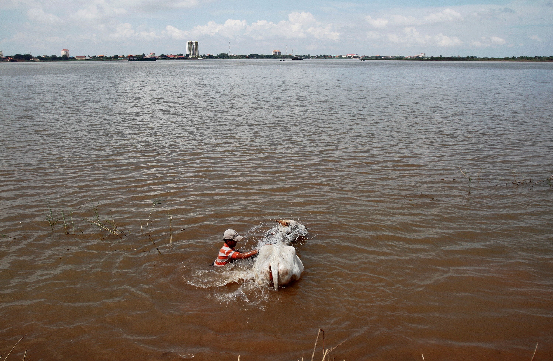 A man washes a cow in the Mekong river in Phnom Penh November 7, 2012. REUTERS/Samrang Pring