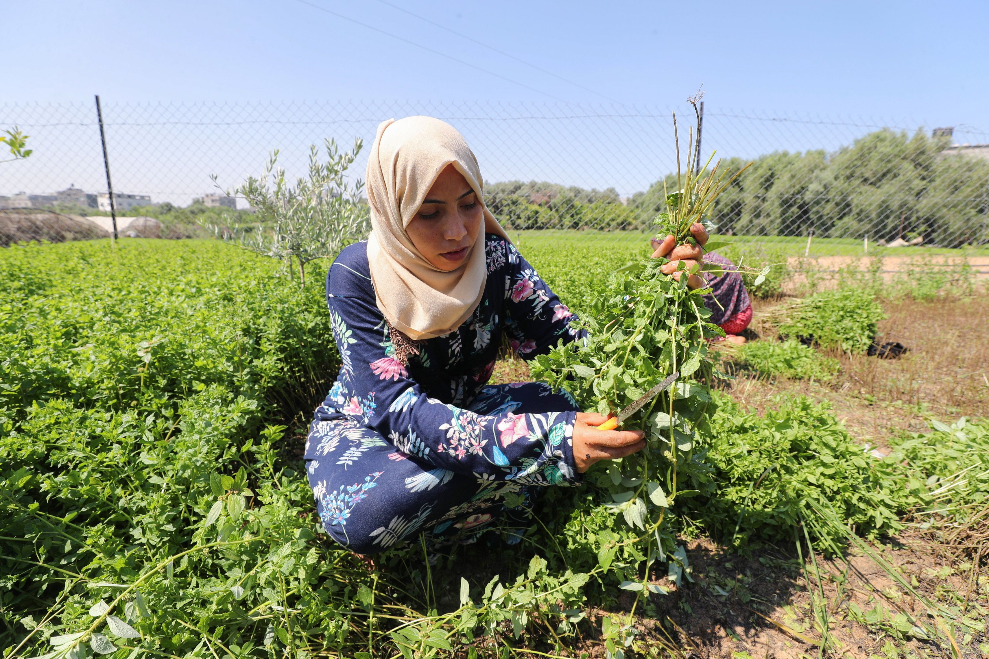 A Palestinian woman cuts mint in her family land, in Beit Lahiya town in the northern Gaza Strip July 28, 2021. Picture taken July 28, 2021. REUTERS/Mohammed Salem