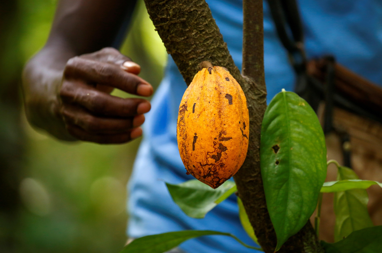 A farmer prepares to collect a cocoa pod at a cocoa farm in Alepe, Ivory Coast December 7, 2020. REUTERS/Luc Gnago/File Photo