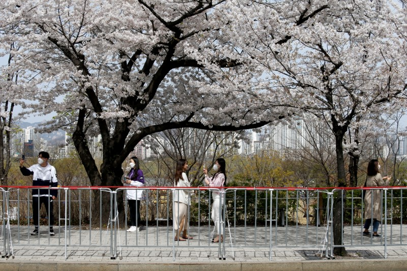 A woman poses for a picture next to a cherry blossom tree, at a street closed to avoid the spread of the coronavirus disease (COVID-19), in Seoul, South Korea, April 1, 2021.   REUTERS/Heo Ran
