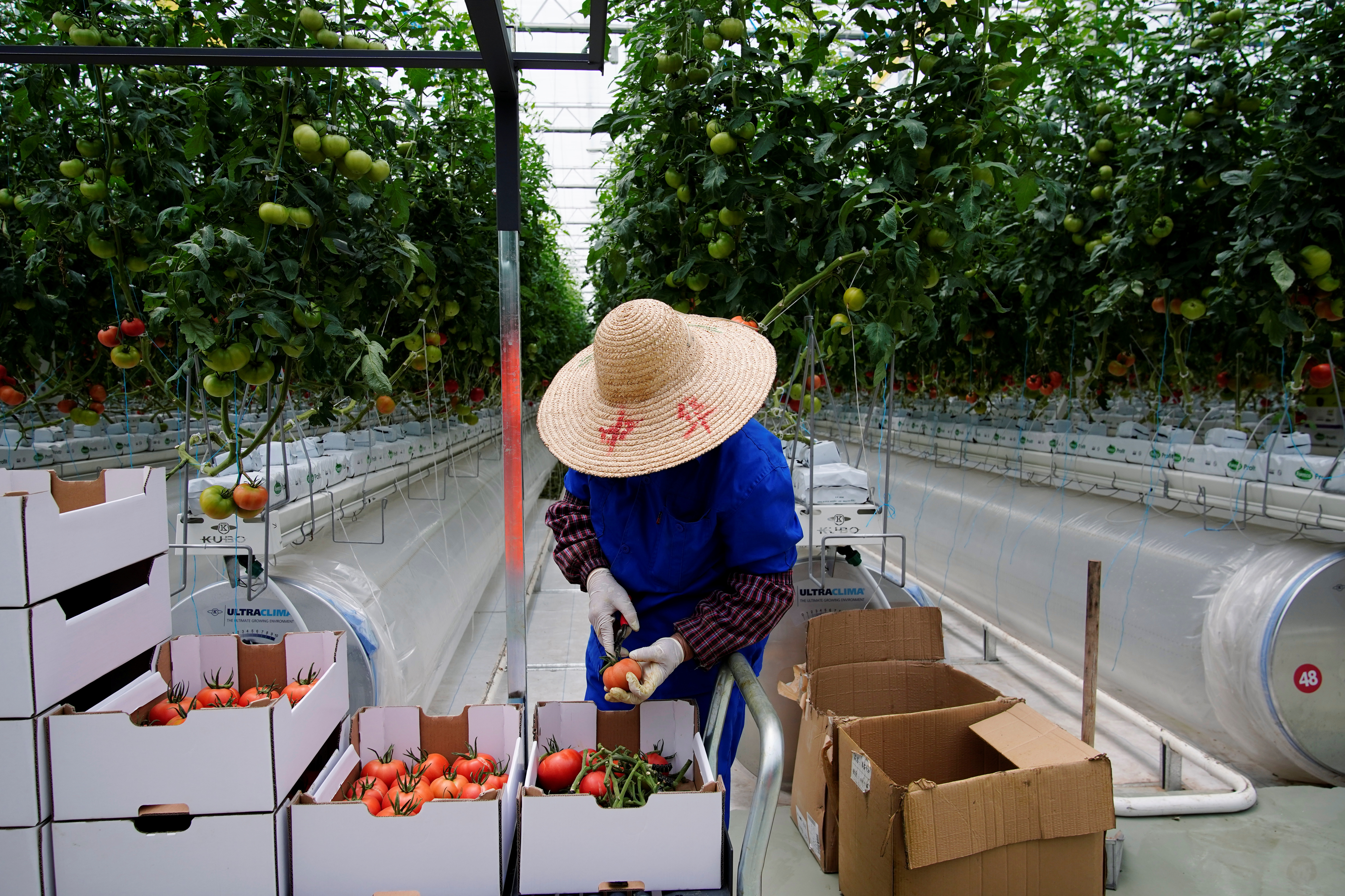 A farmer gathers tomatoes at Hengda greenhouse in Shanghai, China May 25, 2021. REUTERS/Aly Song