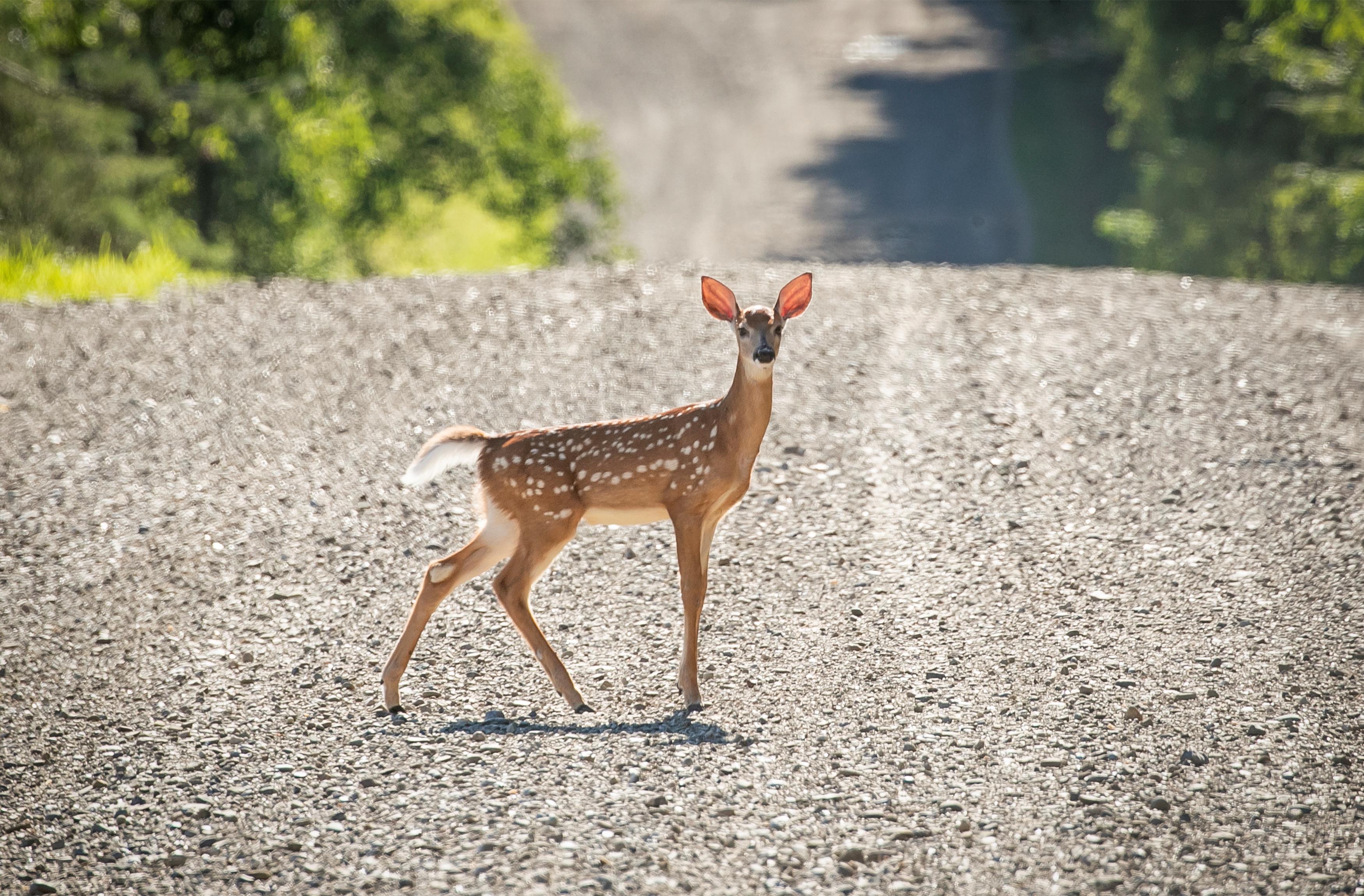 A deer crosses a dirt road in New Albion, New York, U.S. July 20, 2020. Picture taken July 20, 2020. REUTERS/Brendan McDermid/File Photo