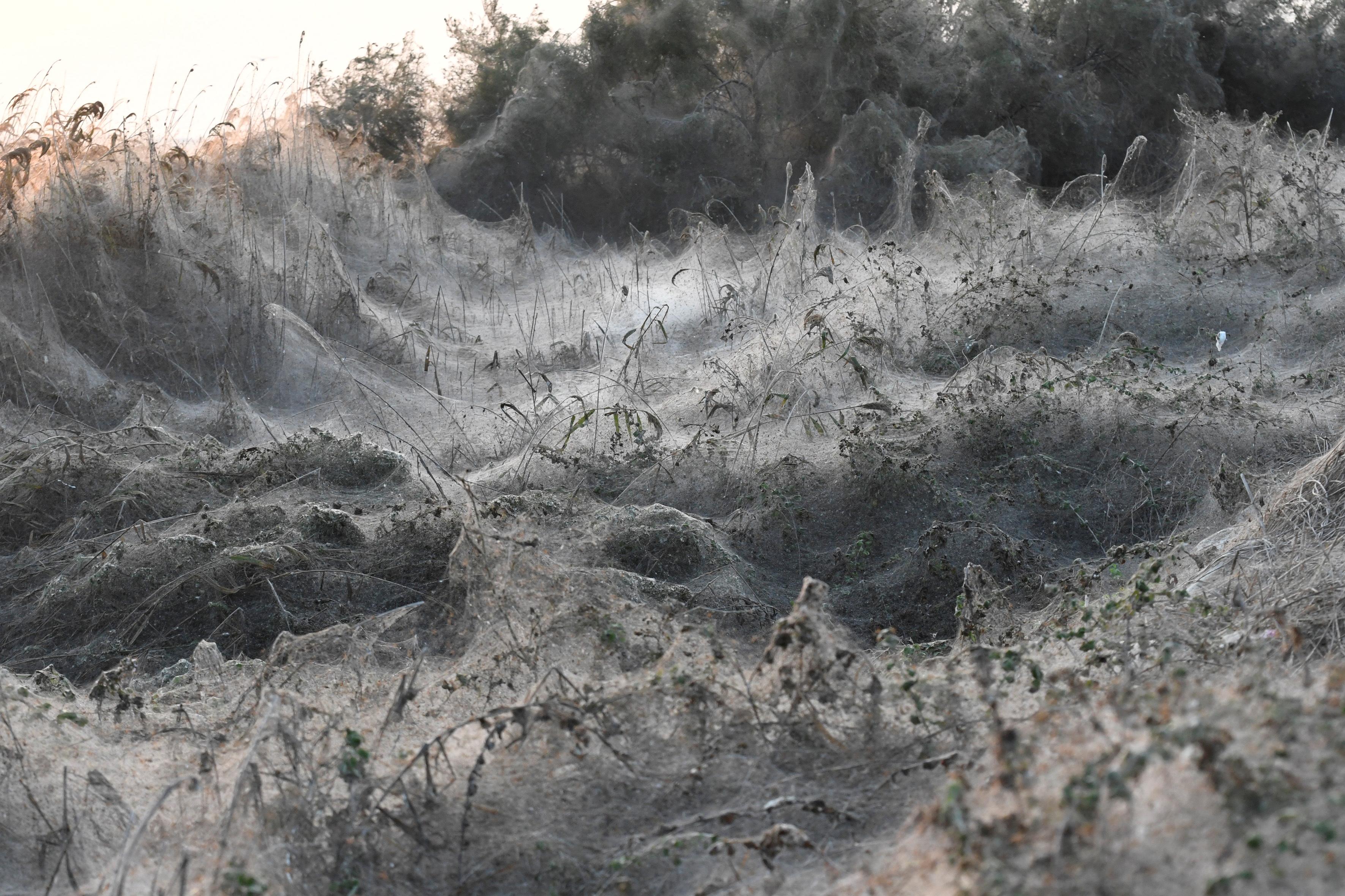 Spiderwebs blanket shrubs at the banks of Lake Vistonida, Greece, October 19, 2018. REUTERS/Alexandros Avramidis/File Photo